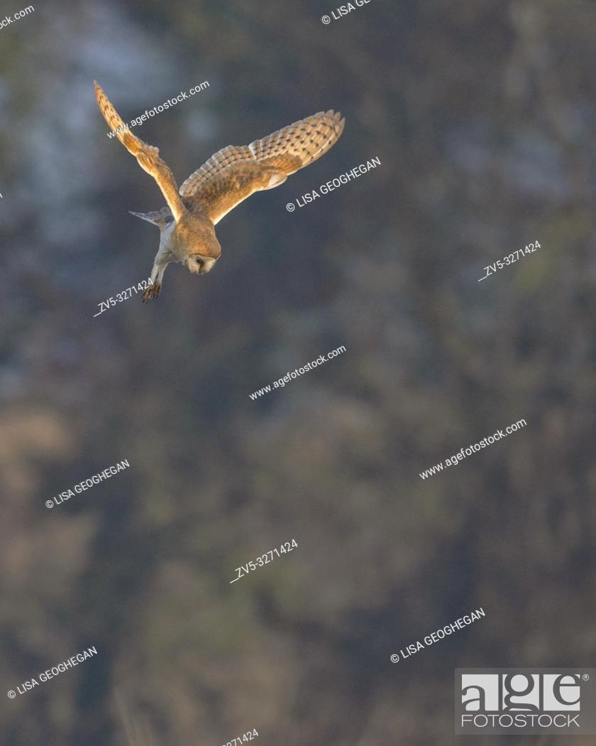 Imagen: Barn Owl-Tyto alba hovers. Winter. Uk.