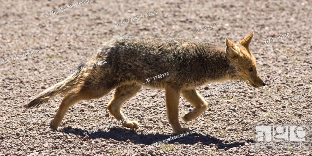 Stock Photo: South American Grey Fox Lycalopex griseus also known as Patagonian Fox, Altiplano, Bolivia.