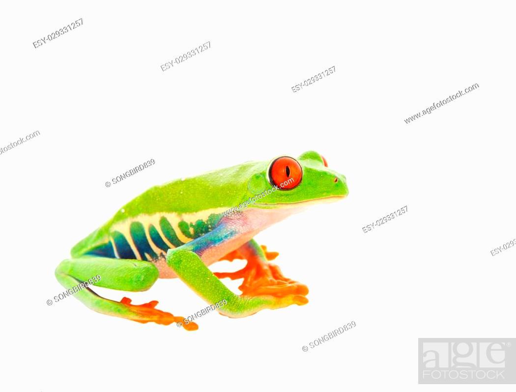 Stock Photo: A sitting Red-Eyed Tree Frog. Shot on white background.