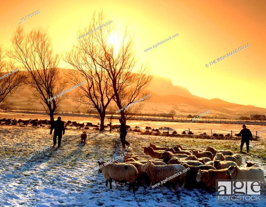 Stock Photo: Sheep Herding, Magilligan, Co Derry, Ireland.