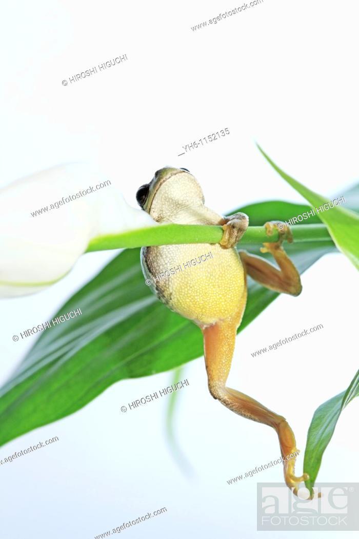 Stock Photo: Tree Frog, Japan, Fukushima.