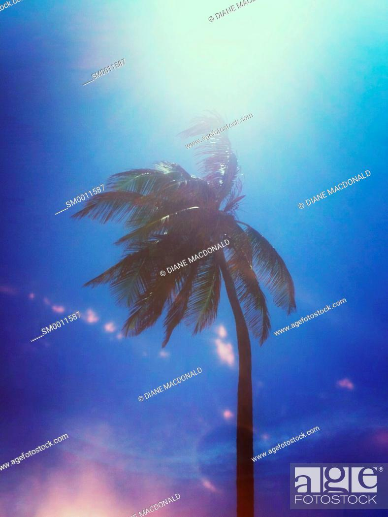 Stock Photo: Coconut palm tree blowing in the wind.