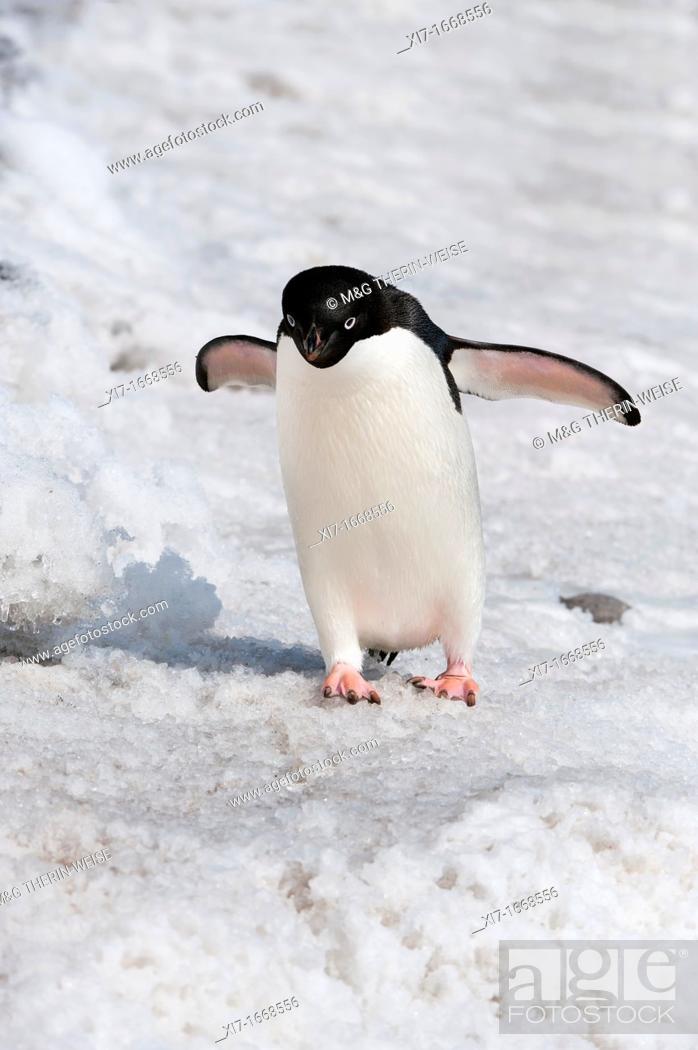 Stock Photo: Adelie Penguin Pygoscelis adeliae, Paulet Island, Erebus and Terror Gulf, Antarctic peninsula.