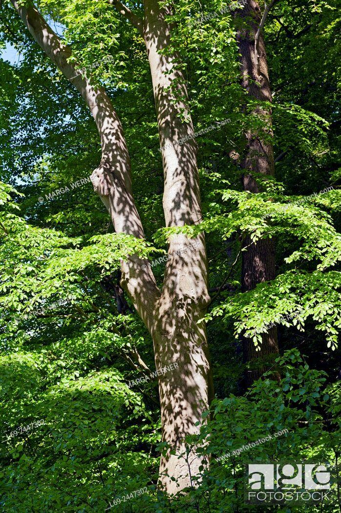 "Stock Photo: Nature reserve """"Dalbekschlucht"""", Schleswig-Hostein, Germany, Europe."