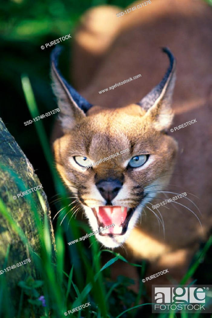 Close Up Of A Desert Lynx Caracal Caracal Snarling Stock Photo