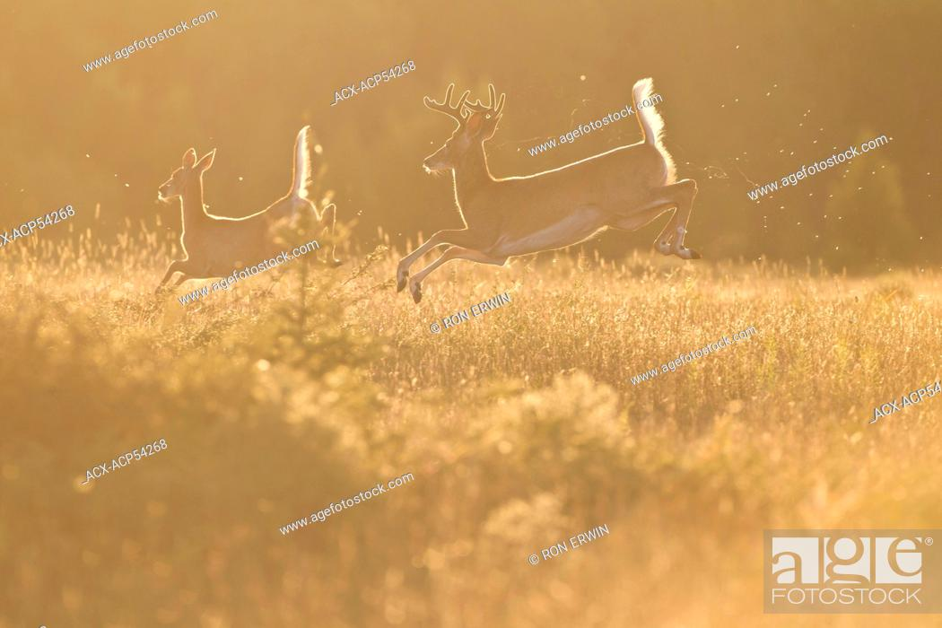 Stock Photo: White-tail deer Odocoileus virginianus leaping with flags up on Barrie Island, Manitoulin Island, Ontario.
