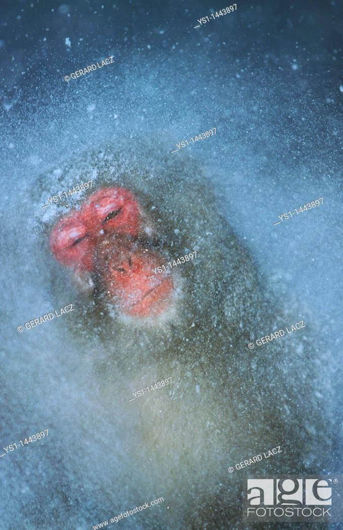 Stock Photo: JAPANESE MACAQUE macaca fuscata, ADULT STANDING IN HOT SPRING WATER, HOKKAIDO ISLAND IN JAPAN.