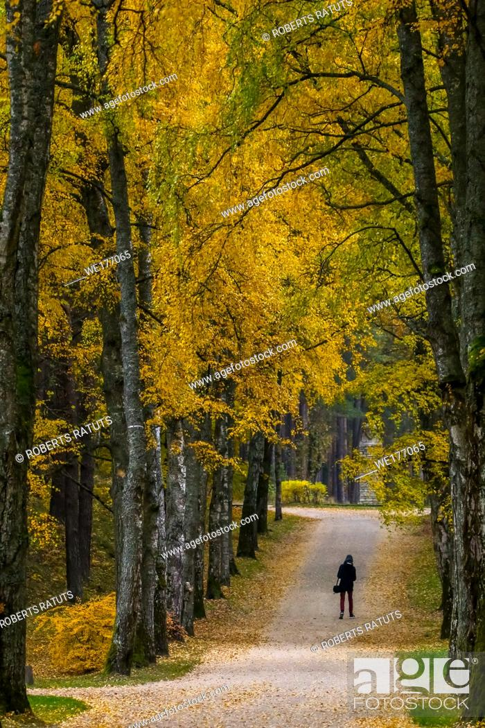 Imagen: Autumn in city park. Colorful leaves in sun light. One man in birch alley. Birches with yellow and green leaves in autumn day.