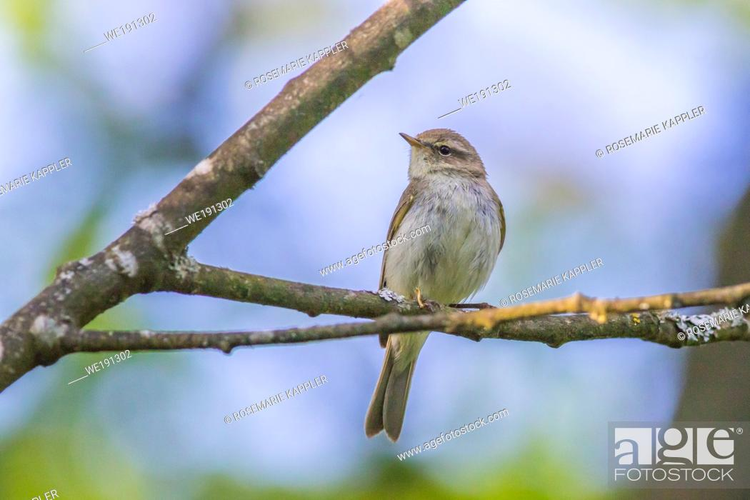 Stock Photo: A common chiffchaff is sitting on a branch.