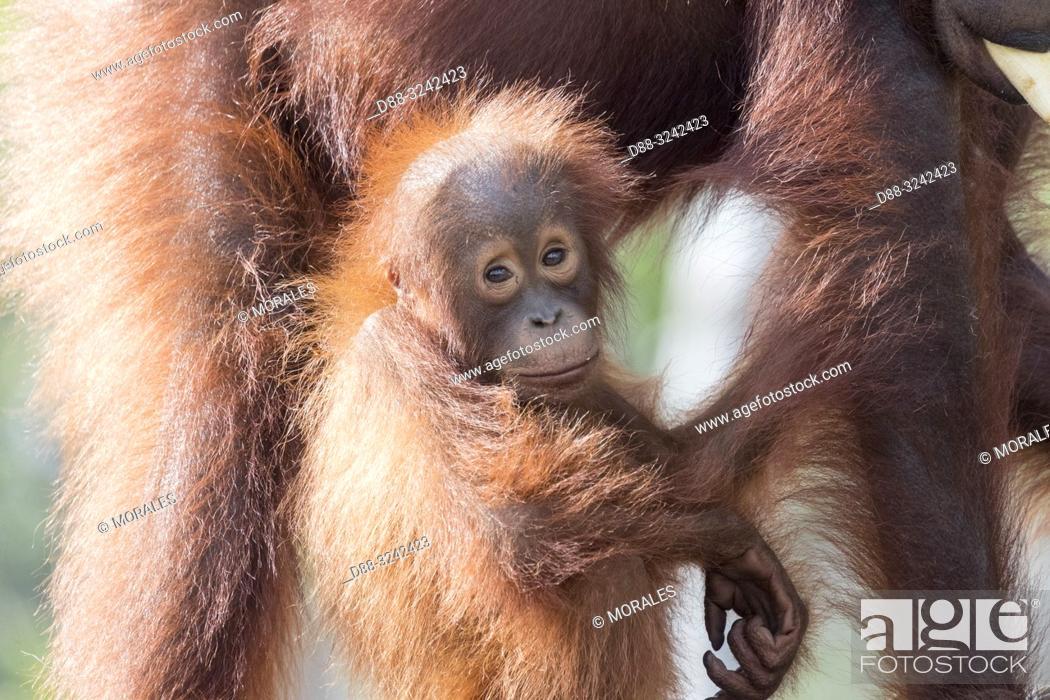 Stock Photo: Asia, Indonesia, Borneo, Tanjung Puting National Park, Bornean orangutan (Pongo pygmaeus pygmaeus), Adult female with a baby, detail.