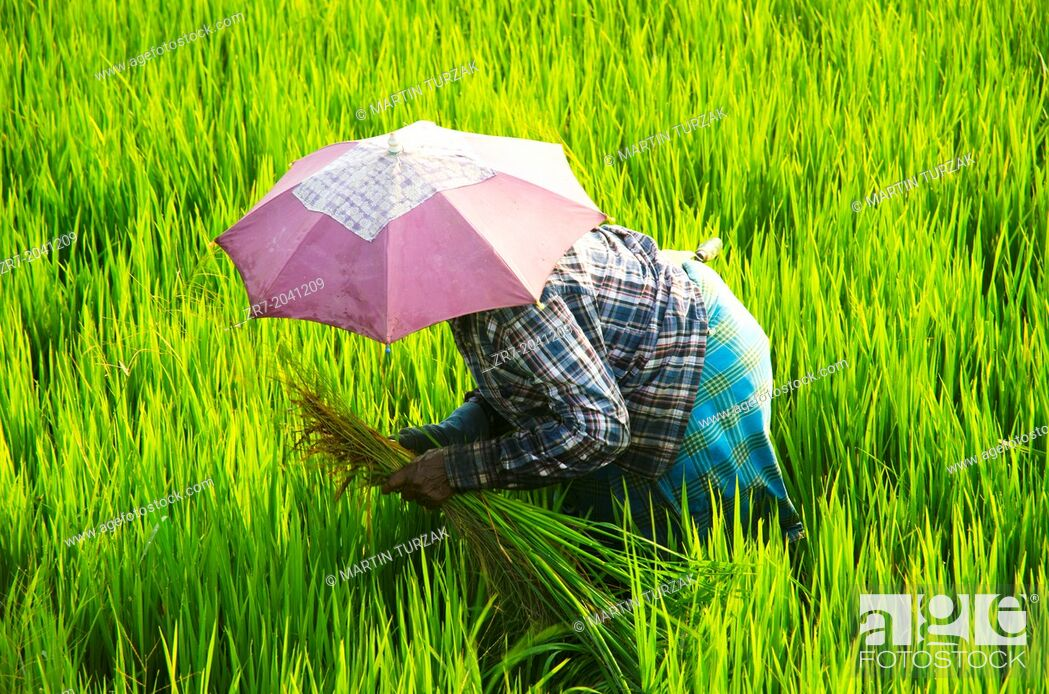 Stock Photo: A rice picker in a field near Alleppey, Kerala, South India.