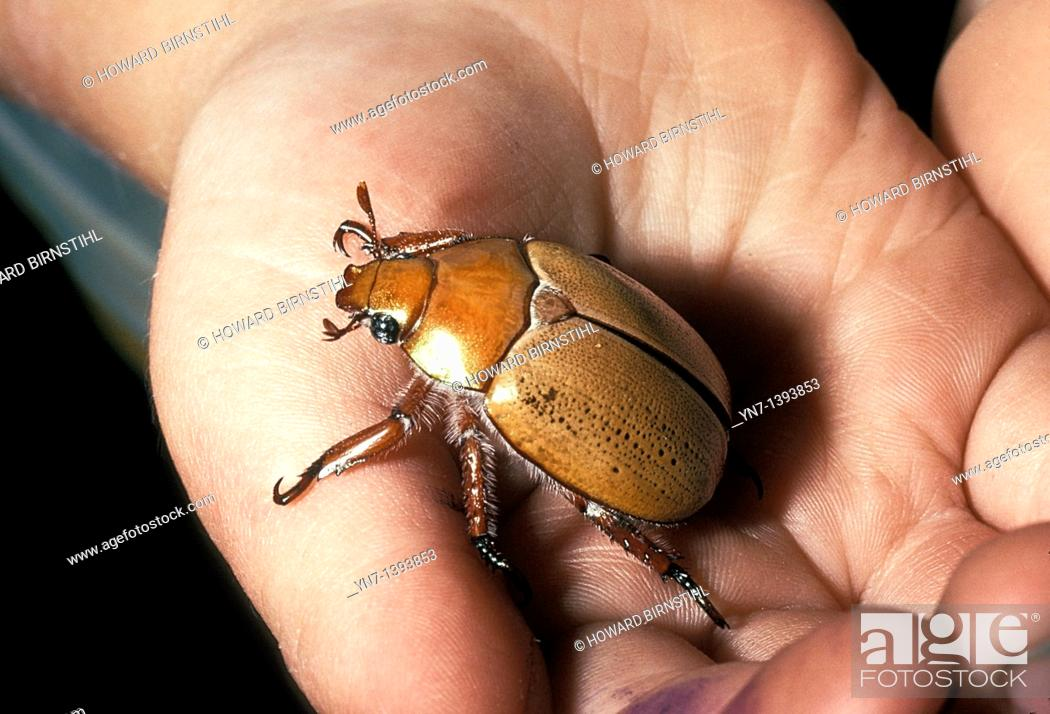 Stock Photo: Close up of child's hand holding a Christmas Beetle genus Anogplognathus.