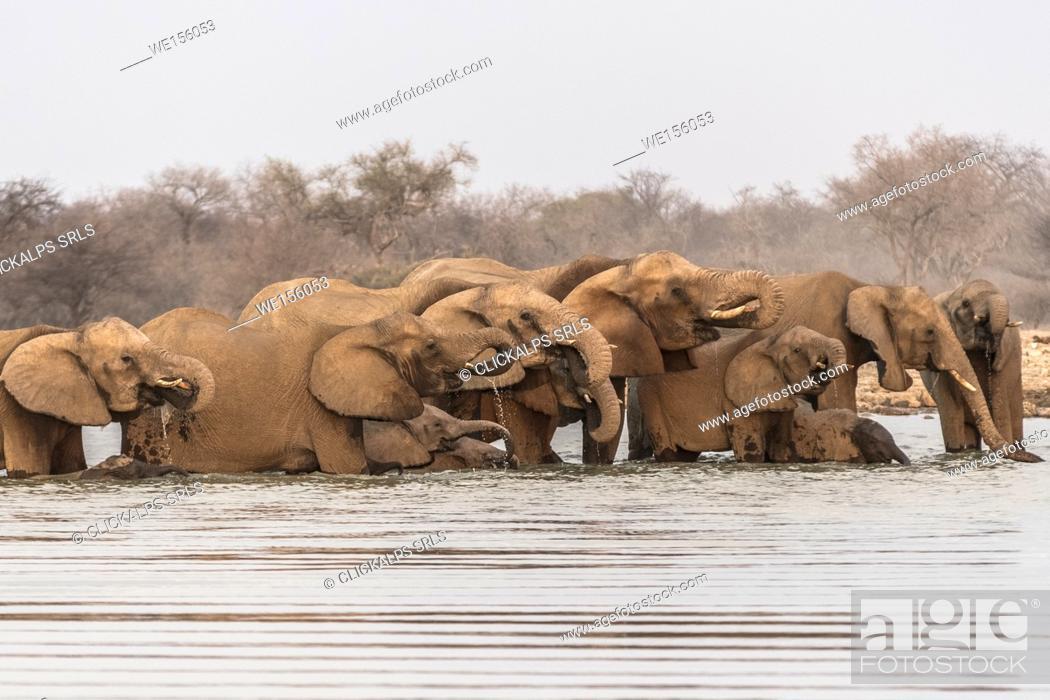 Stock Photo: Herd of elephants drinking water. Etosha National Park, Oshikoto region, Namibia.