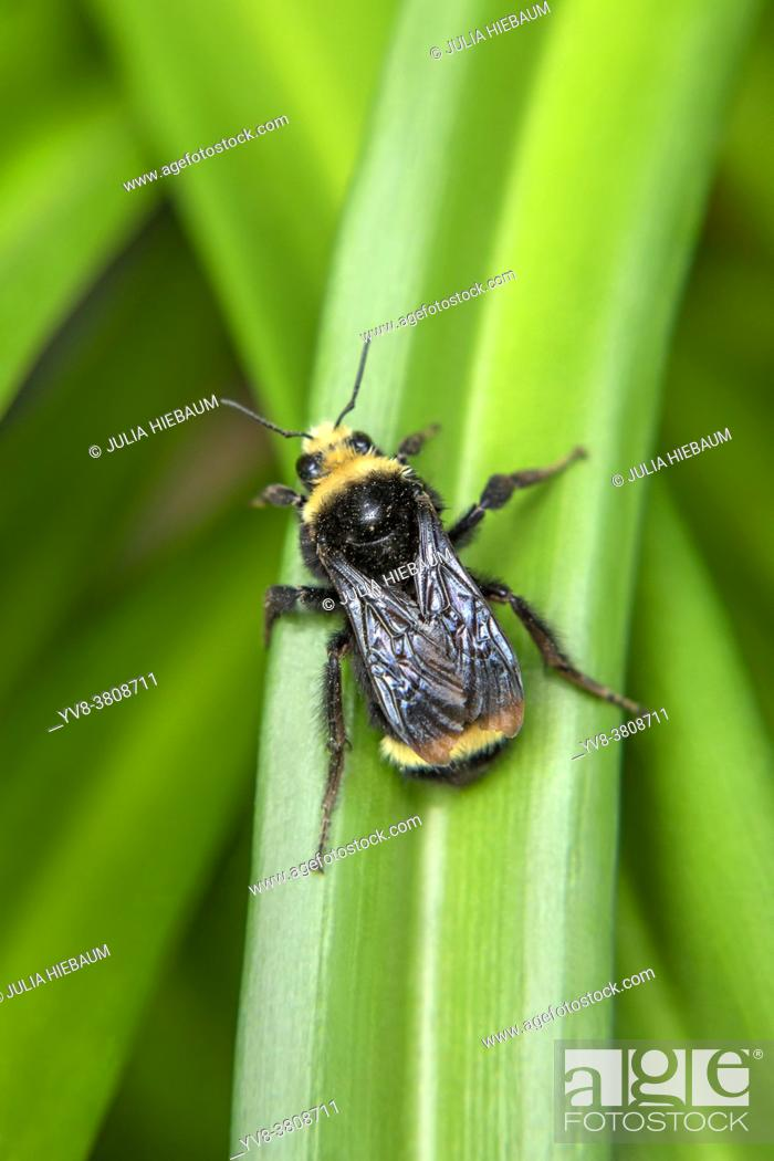 Stock Photo: A yellow faced bumble bee in San Diego, California.