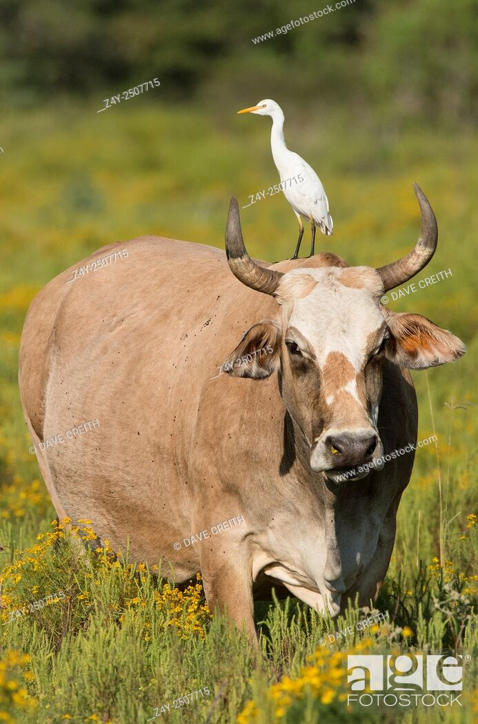 Stock Photo: Cattle Egret (Bubulcus ibis) on a cow's back , Texas.