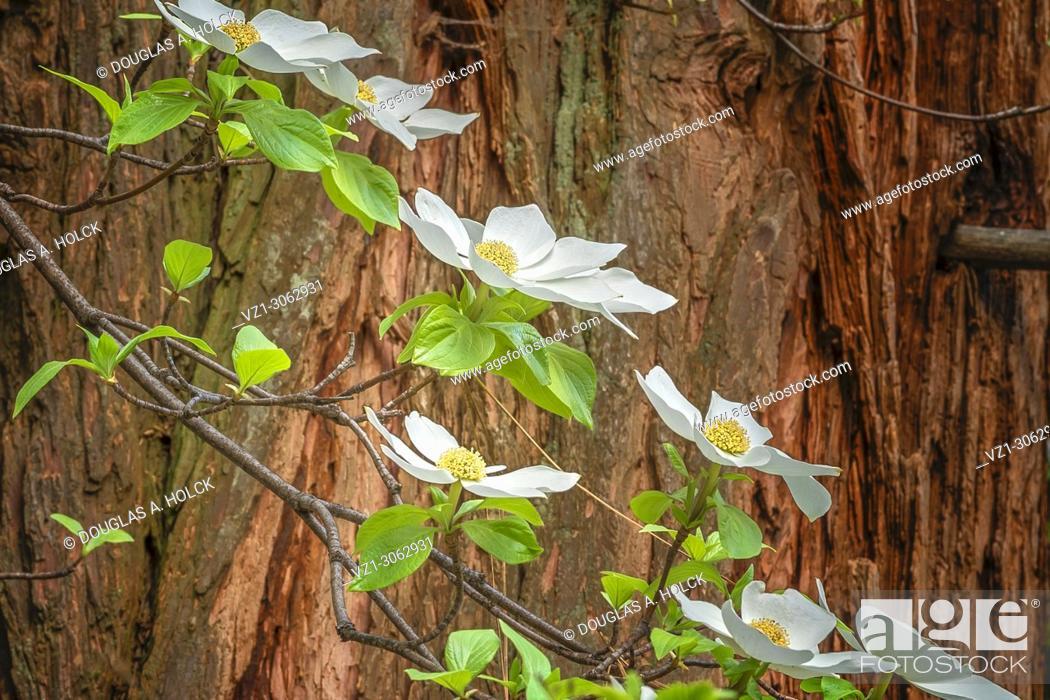 Stock Photo: Dogwood Blossoms and Cedar Tree.