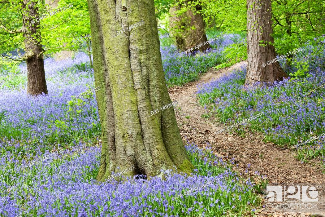 Stock Photo: Clough Woods with bluebells, Derbyshire, England, UK.