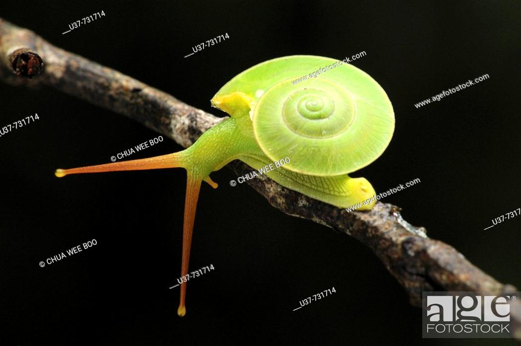 Stock Photo: This green snail is often seen living on high ground moving from tree's leaves to the other.