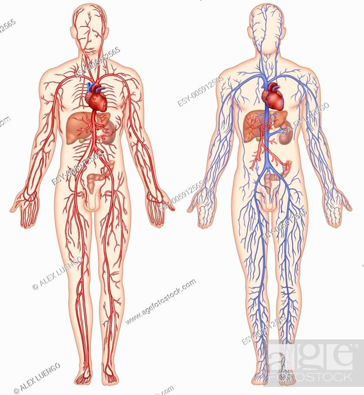 Illustration Of Two Human Figures And Circulatory System Composed