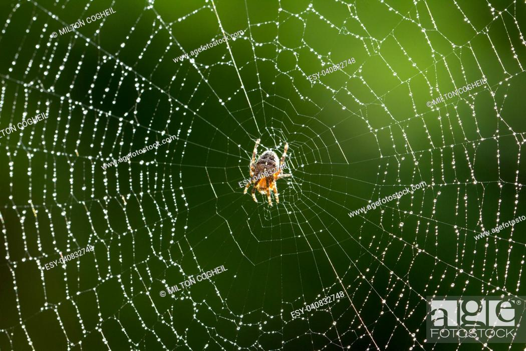Stock Photo: Common garden Spider on it's web just after rainfall.