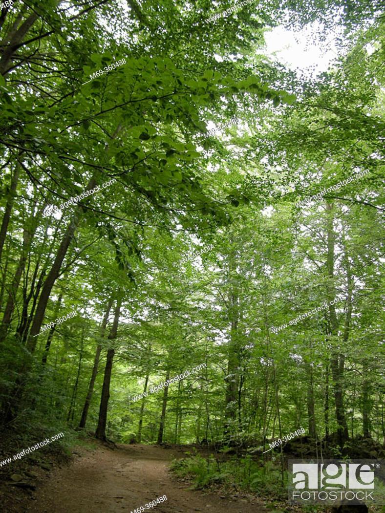 Stock Photo: Beeches (Fagus sylvatica). Montseny Natural Park, Barcelona province. Spain.
