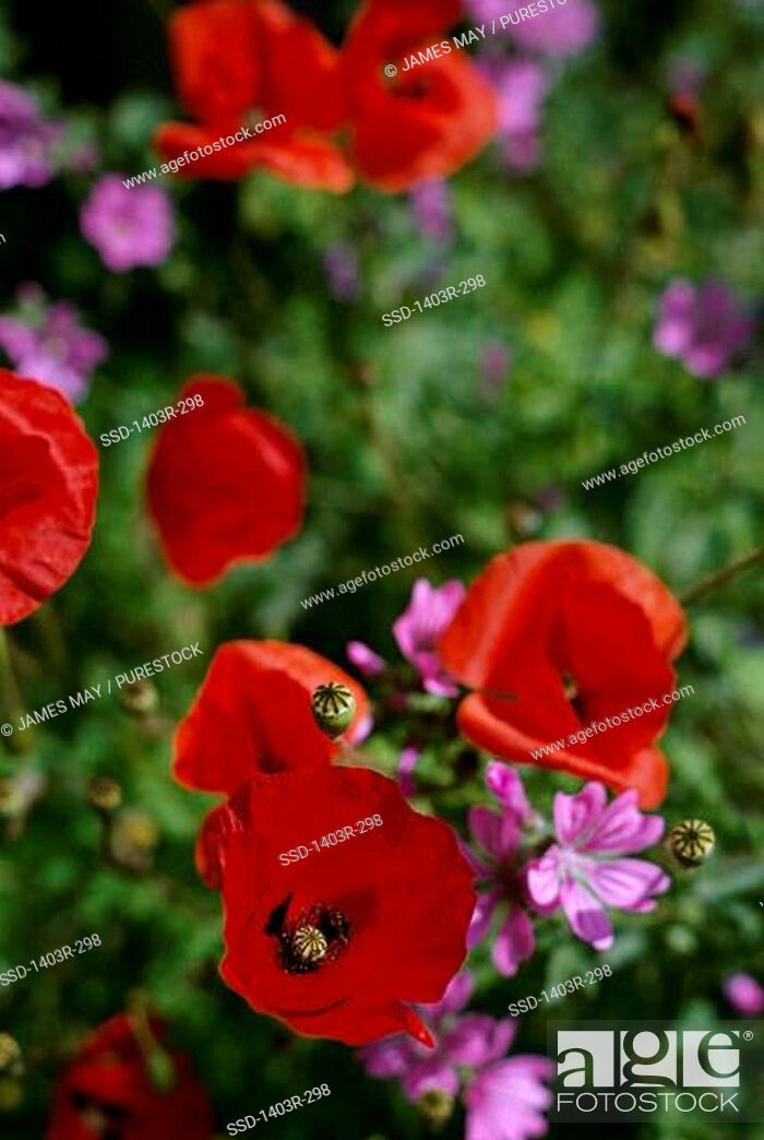 Imagen: Close-up of poppy flowers.