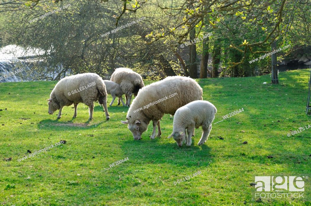 Stock Photo: Sheep grazing in Normandy.