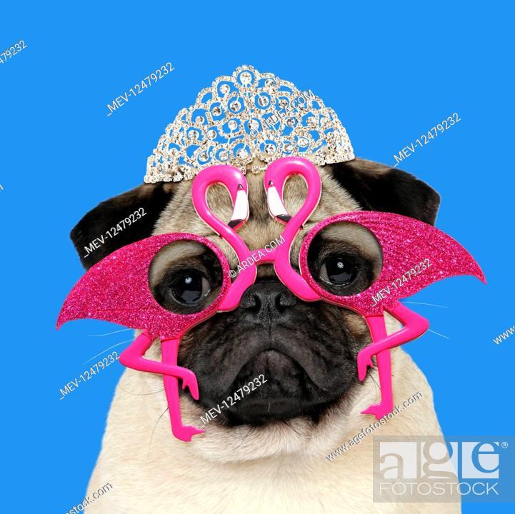 Stock Photo: DOG, Fawn pug wearing flamingo sun-glasses and tiara.
