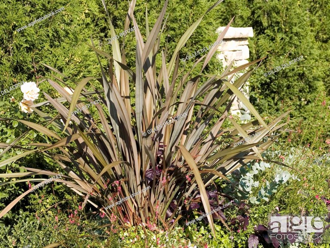Phormium Dusky Chief Stock Photo Picture And Rights Managed