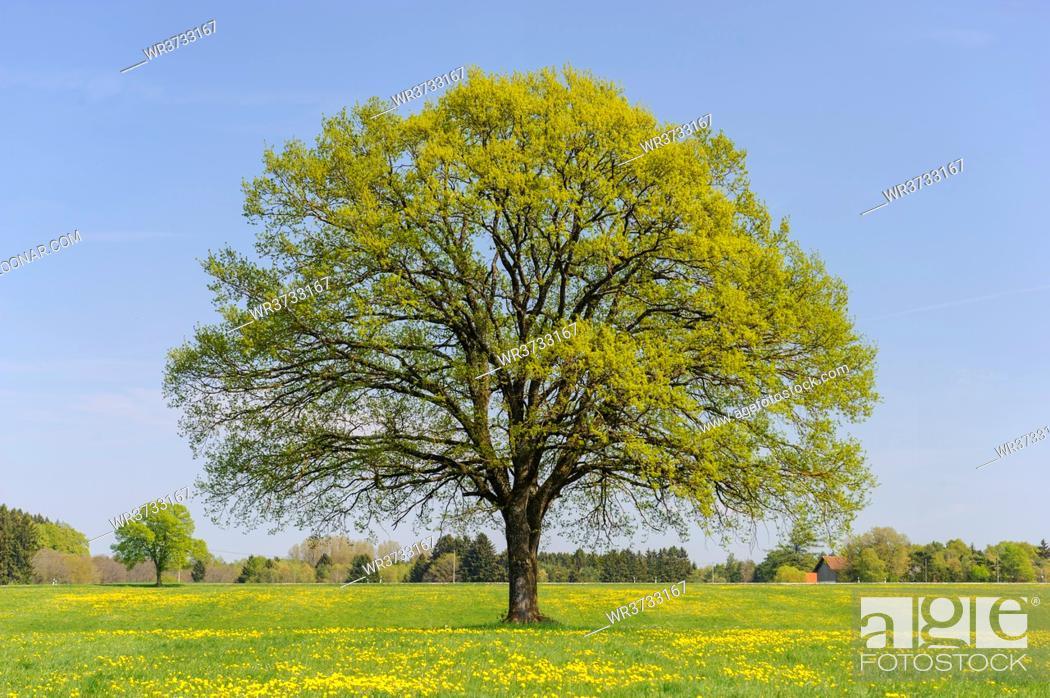 Stock Photo: single big oak tree in field with perfect treetop.