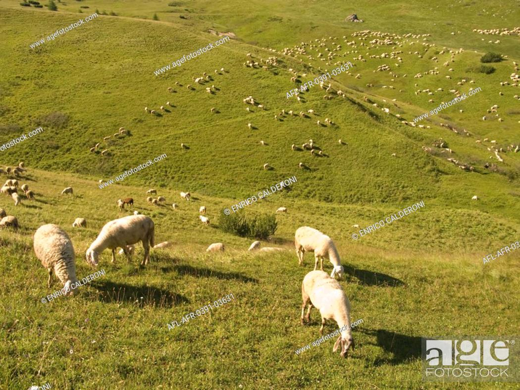 Stock Photo: Sheep grazing in pasture and hills.