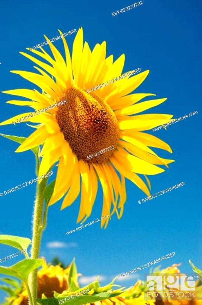 Stock Photo: Sunlower.