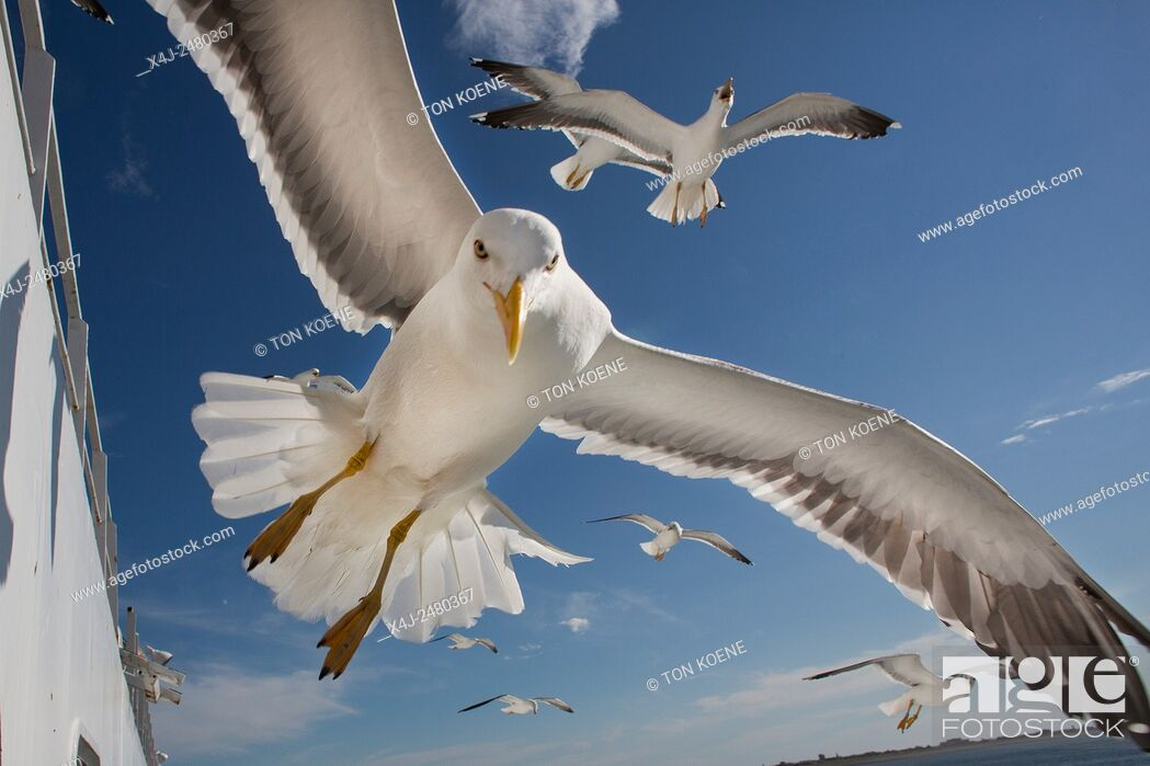Photo de stock: Seagulls following a ferry looking for food.