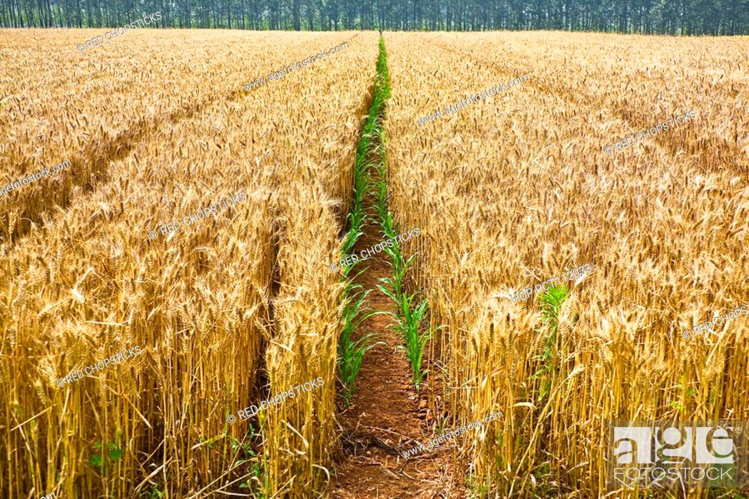 Stock Photo: Wheat crop in a field, Zhigou, Shandong Province, China.