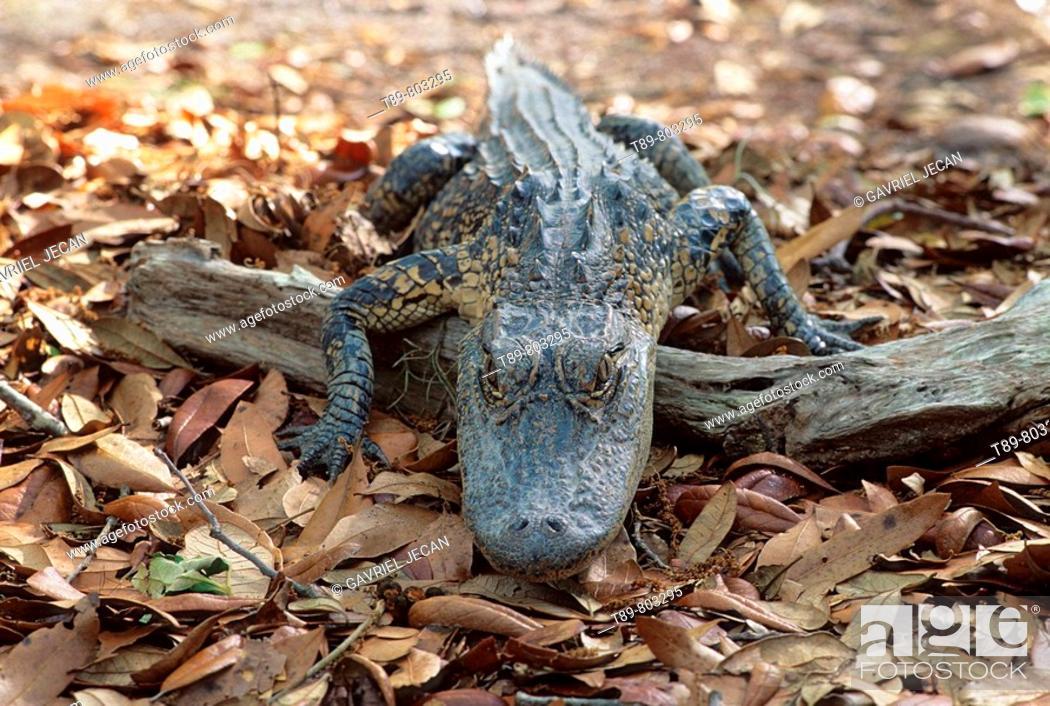 Stock Photo: American Aligator.