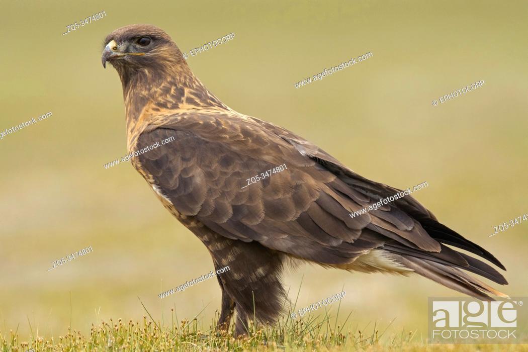 Stock Photo: Upland Buzzard, Buteo hemilasius, Ladakh, India.