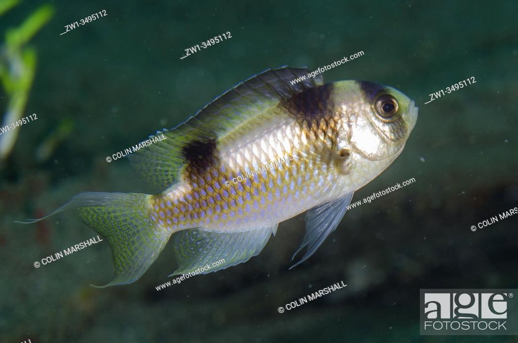 Stock Photo: Black-banded Damselfish (Amblypomacentrus breviceps), Kobe Reef dive site, Weda, Halmahera, North Maluku, Indonesia, Halmahera Sea.