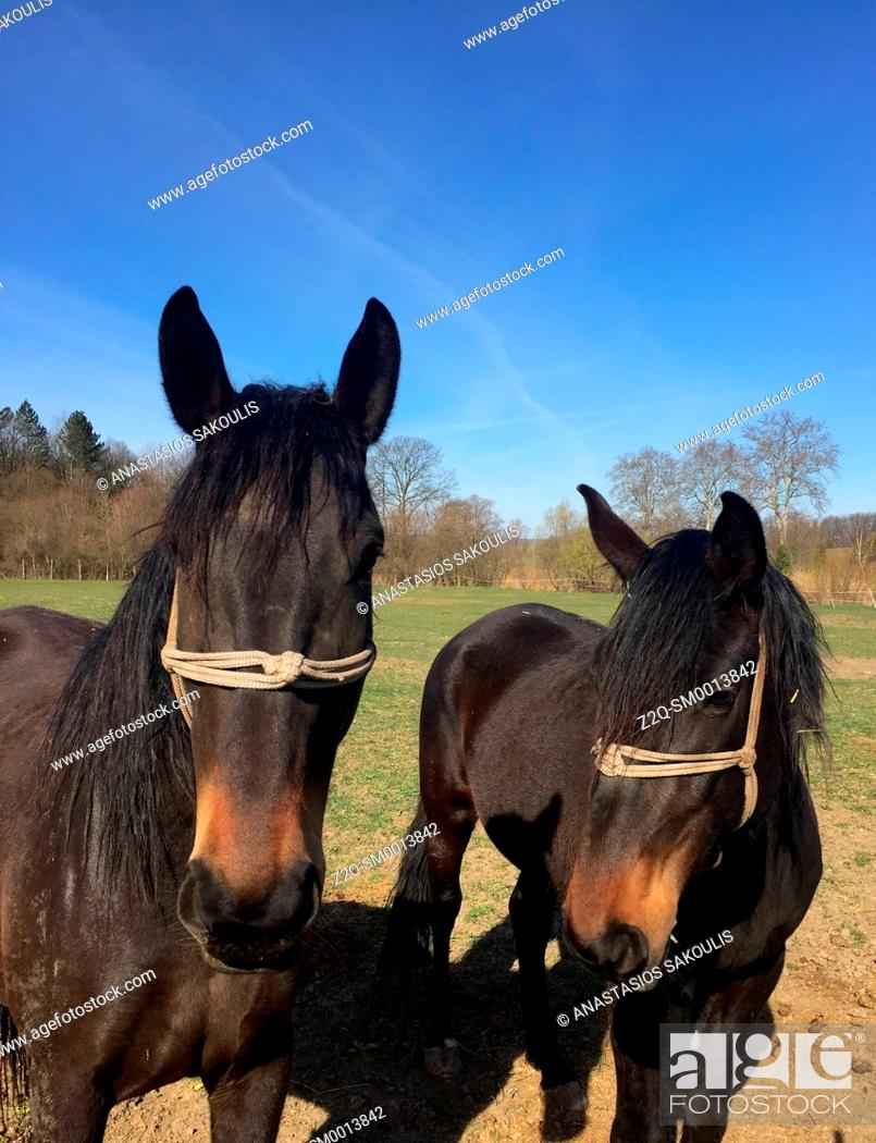 Stock Photo: Horses, Hungary.