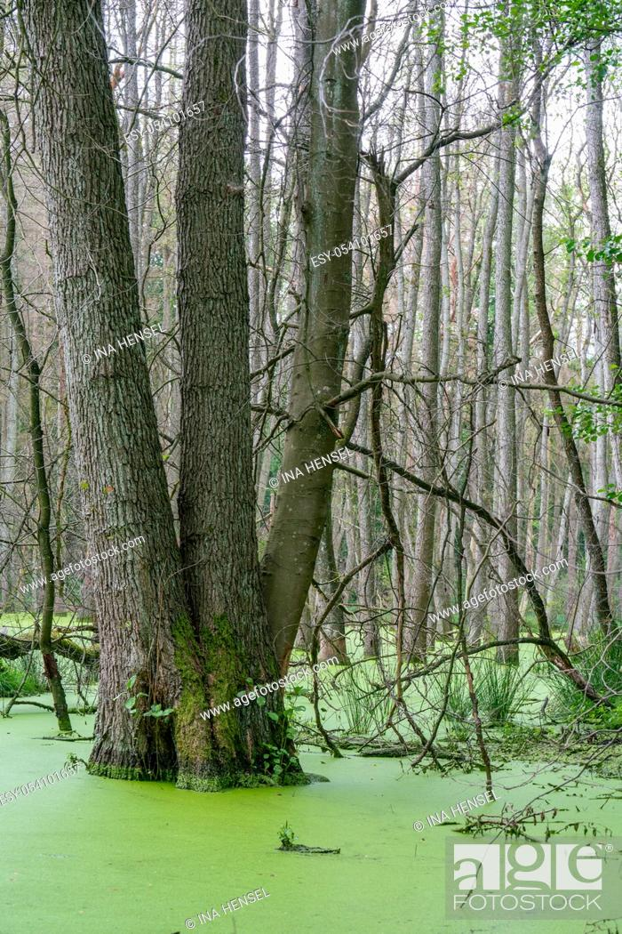 Stock Photo: Trees standing in water full of duckweed (lemna minor) in a german swamp area - Briesetal north of Berlin, Germany.