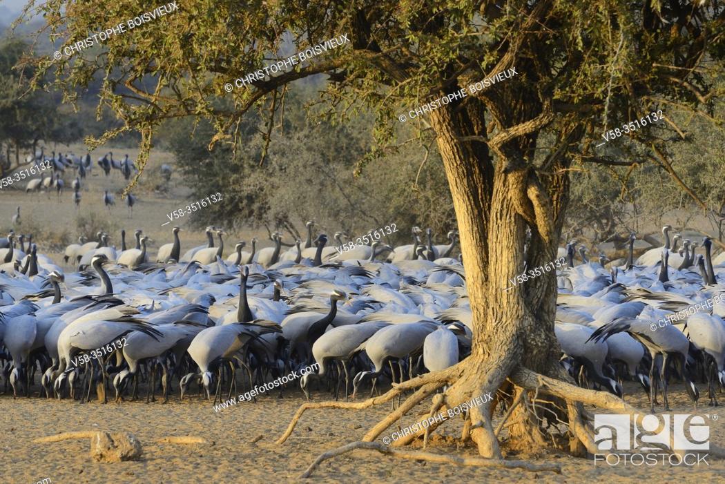 Stock Photo: India, Rajasthan, Jodhpur region, Demoiselle cranes. . Native to South West Europe, Black Sea region, Poland, Ukraine, Kazakhstan, Africa and Mongolia.