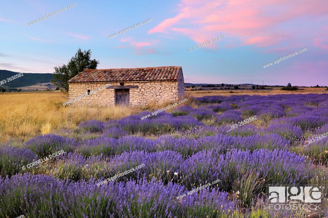 Stock Photo: Stone house in Lavendelfeld, Lavender (Lavendula augustifolia), Sault, Plateau de Vaucluse, Alpes-de-Haute-Provence, Provence-Alpes-Cote d'Azur, Provence.