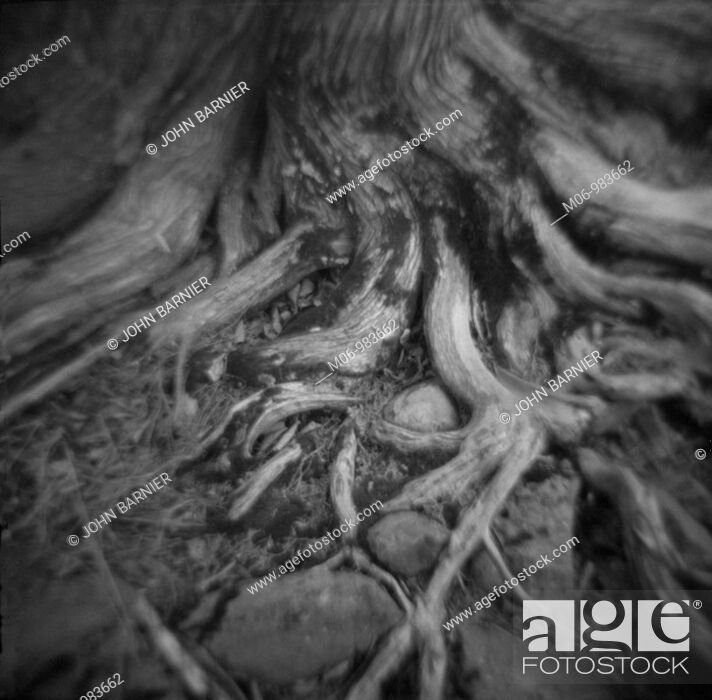 Stock Photo: Gnarled Tree Roots.