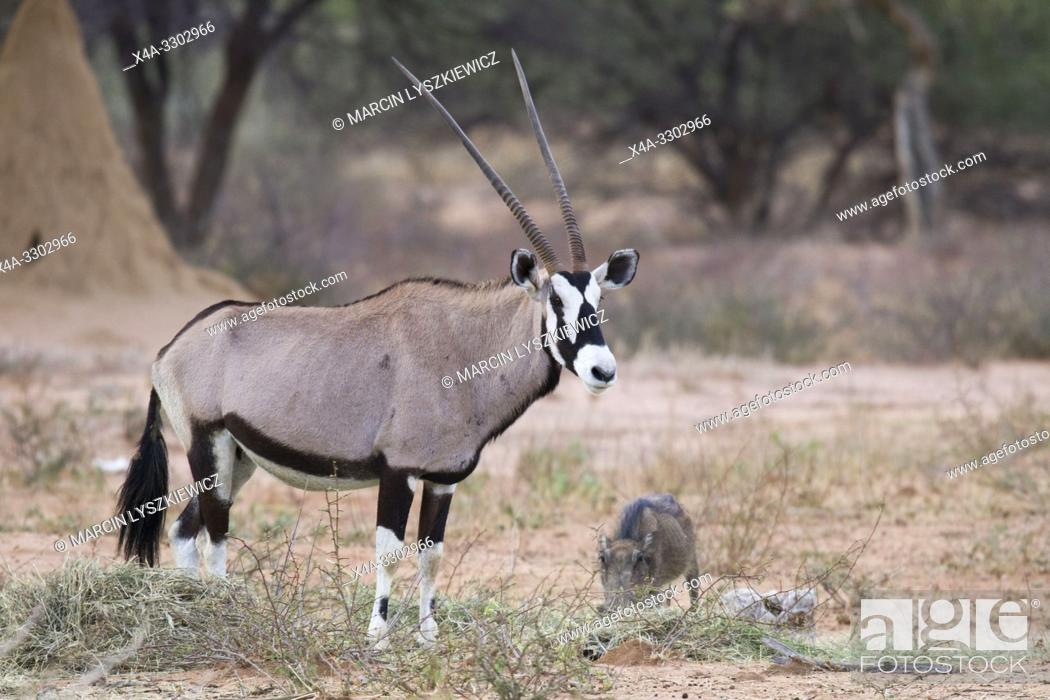 Stock Photo: Oryx (Gemsbok) antelope, Okonjima Nature Reserve, Namibia.