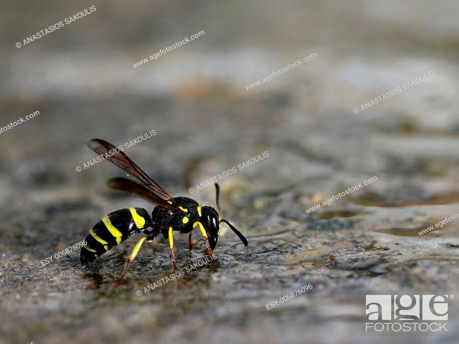 Stock Photo: Wasp, Crete, Greece.