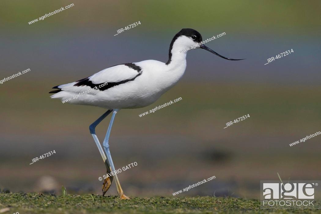 Stock Photo: Pied Avocet (Recurvirostra avosetta), adult walking in a swamp, Campania, Italy.