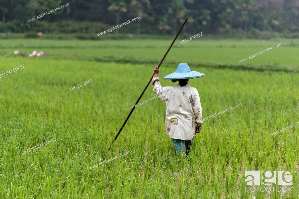 Stock Photo: A female rice field worker at the Harau Valley, Sumatra, Indonesia.