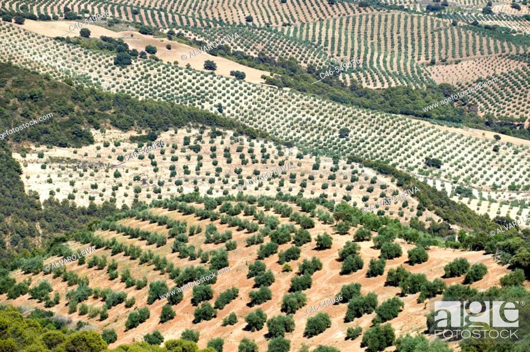 Stock Photo: Olive trees (Olea europaea), Jaen province, Andalusia, Spain.