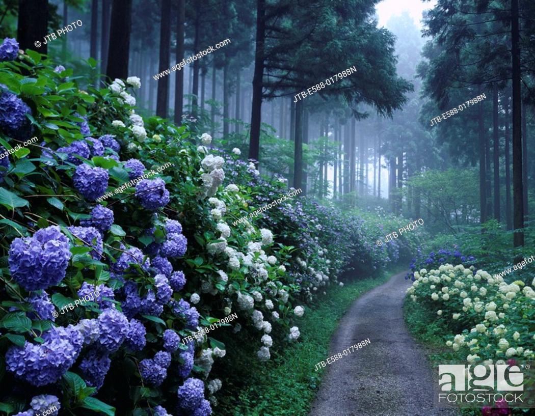 Imagen: Fog, Michinoku hydrangea garden, flower, hydrangea, Ichinoseki, Iwate, Tohoku, Japan, July.
