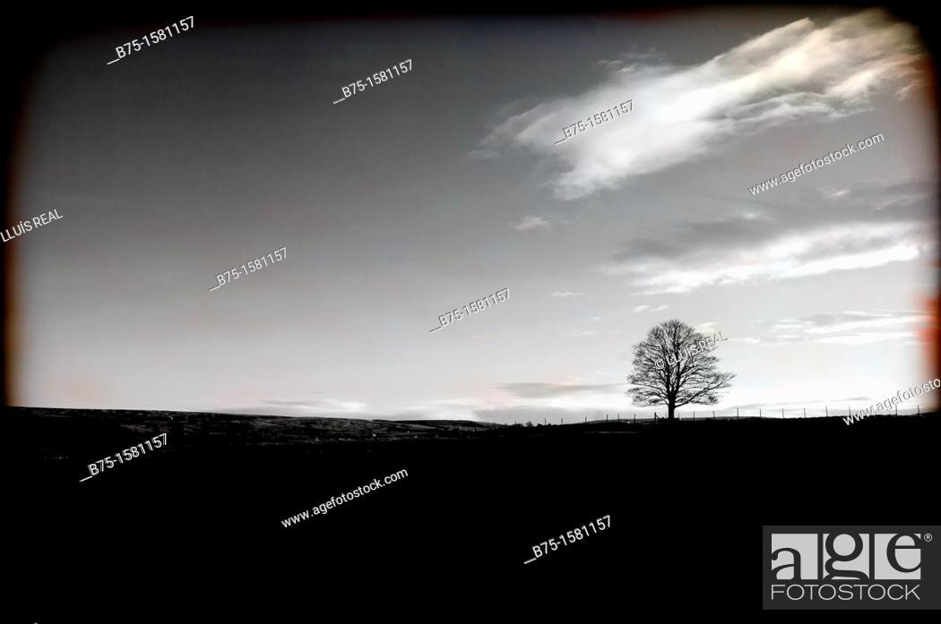 Stock Photo: lone tree, Yorkshire Dales, England, UK.