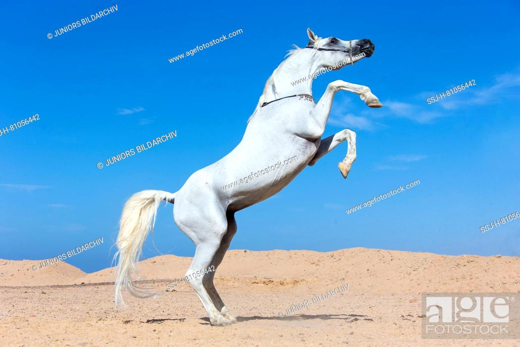 Arab Horse Arabian Horse Gray Stallion Rearing In The Desert Egypt Stock Photo Picture And Rights Managed Image Pic Ssj H 81056442 Agefotostock